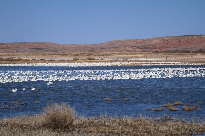 Snow Goose (b0744)