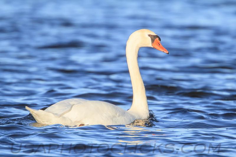 Mute Swan (b2303))