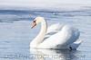 Mute Swan (b2301)