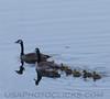 Canada Goose (0731)
