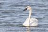 Trumpeter Swan (b2312)