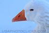 Ross's Goose (b3181)