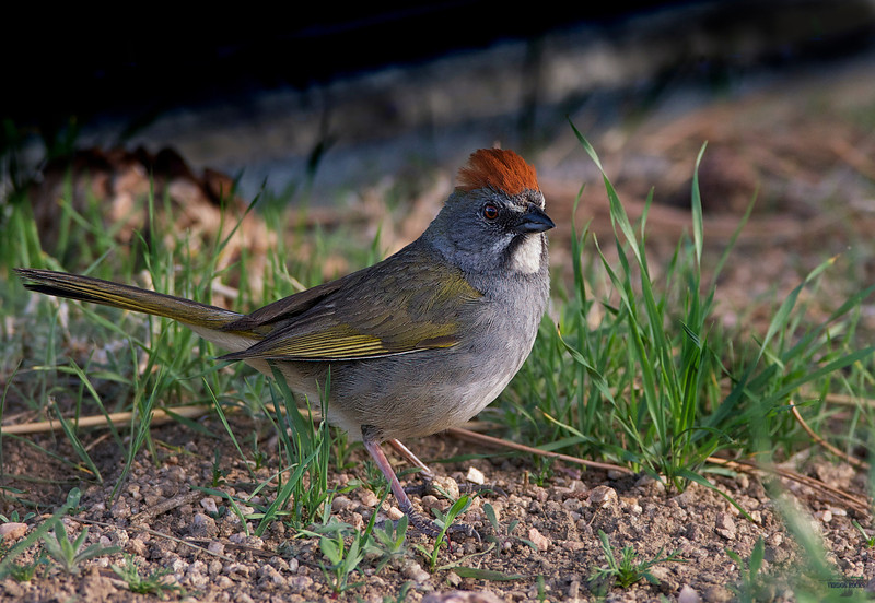 "Green-tailed Towhee, Colorado<br /> ""Pipilo chlorurus"""