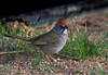 "Green-tailed Towhee, Colorado<br /> ""Pipilo chlorurus"""