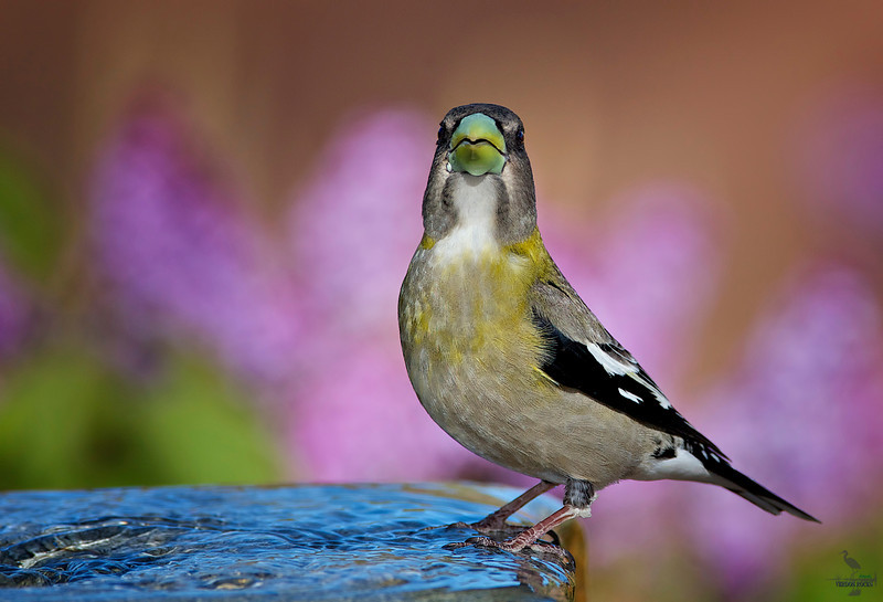 "Evening Grosbeak / female, New Mexico<br /> ""Coccothraustes vespertinus"""