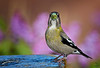 "Evening Grosbeak / female, New Mexico<br /> ""Coccothraustes vespertinus"""