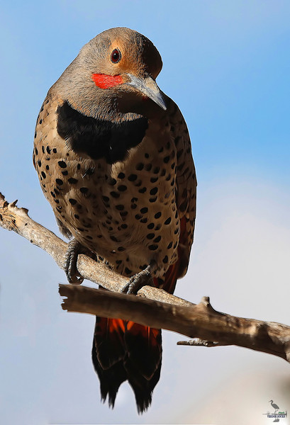 "Come Visit As You Are.....<br /> Northern Flicker, Colorado<br /> ""Colaptes auratus cafer"""