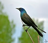 "Common Grackle, male, Colorado<br /> ""Quiscalus quiscula"""