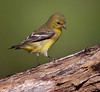 "American Goldfinch, female; Colorado<br /> ""Carduelis tristis"""