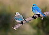 "Happy Couple <br /> Mountain Bluebird,  female & male, Colorado<br /> ""Sialia currucoides"""