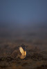 Greater Sage-Grouse after displaying in heavy fog