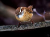 Carolina Wren /  Thrythorus ludovicianus