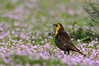 Yellow-headed Blackbird / female / Xantocephalus xantocephalus