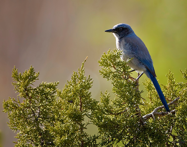 "Mexican Jay, New Mexico<br /> ""Aphelocoma ultramarina"""