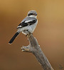 "Loggerhead Shrike, Colorado<br /> ""Lanius ludovicianus"""