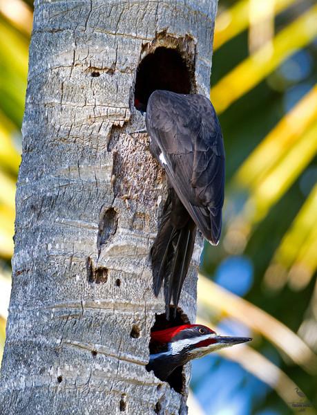 """Peek-a-boo""<br /> Pileated Woodpecker, couple in palm tree nest site, Florida<br /> ""Dryocopus pileatus"""
