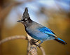 "The Punk Is Not Dead <br /> Steller's Jay, Colorado<br /> ""Cyanocitta stelleri"""