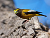 "Evening Grosbeak, New Mexico<br /> ""Coccothraustes vespertinus"""