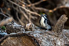 American Thee-toed Woodpecker / Picoides dorsalis