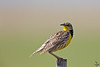 "Western Meadowlark, Colorado<br /> ""Sturnella neglecta"""