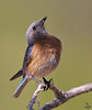 "Western Blue Bird / female, Colorado<br /> ""Sialia mexicana"""