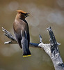"Cozy Sofa  BY Spiderweb ...<br /> Cedar Waxwing, Colorado<br /> ""Bombycilla cedrorum"""