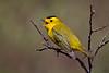"""Wilson's Warbler, Colorado<br /> """"Wilsonia pusilla"""""""