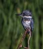 Belted Kingfisher / juvenile