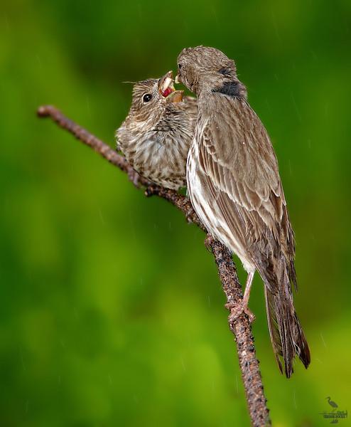 "feeding in the rain ...<br /> House Finch couple, Colorado<br /> ""Carpodacus mexicanus"""