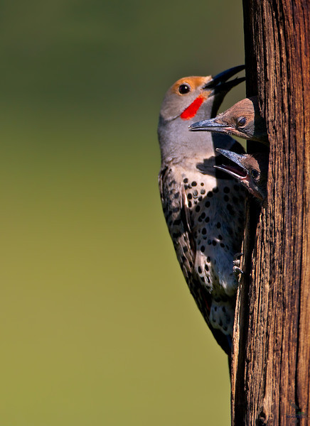 "Northern Flicker, at nest with 2 young ones, Colorado<br /> ""Colaptes auratus cafer"""