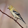 "American Goldfinch, winter coat, Colorado<br /> ""Carduelis tristis"""