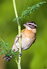 Black-headed Grosbeak / Pheucticusmelanocephalus