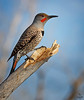 "Northern Flicker -red shafted / male, Colorado<br /> ""Colaptes auratus cafer"""