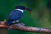 "Belted Kingfisher, with morning snack, Colorado<br /> ""Ceryle alcyon"""