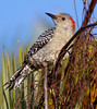 "Red-bellied Woodpecker, on branches, Florida<br /> "" Melanerpes carolinus"""