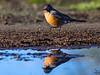 American Robin / Turdus migratorius