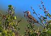 Lark Sparrow / Chondestes grammacus