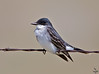 "Eastern Kingbird, Colorado<br />  ""Tyrannus tyrannus"""
