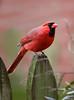 """Northern Cardinal, Eastern; Pennsylvania<br /> """"Cardinalis cardinalis"""""""