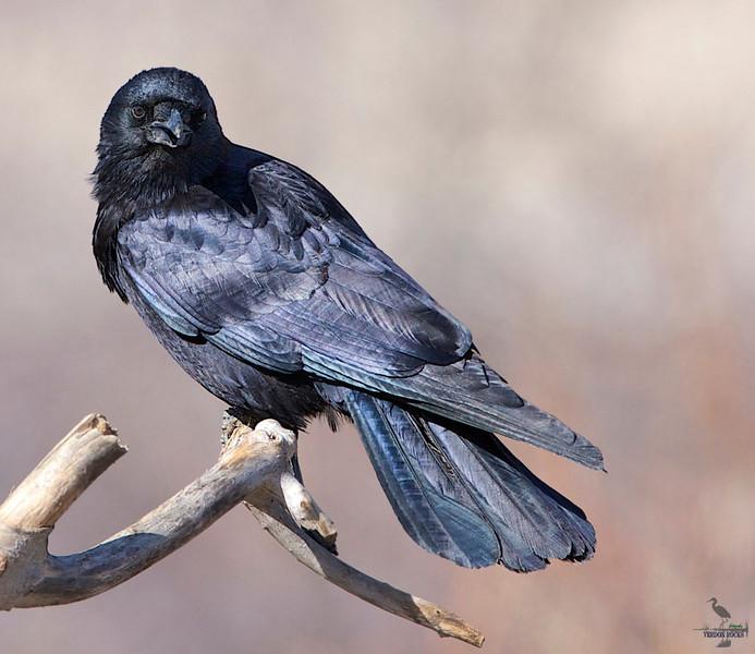 """American Crow, Colorado<br /> """"Corvus brachyrhynchos"""""""