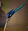 "Black-billed Magpie, Colorado<br /> ""Pica hudsonia"""