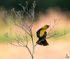 Yellow-headed Blackbird Xantocephalus xantocephalus