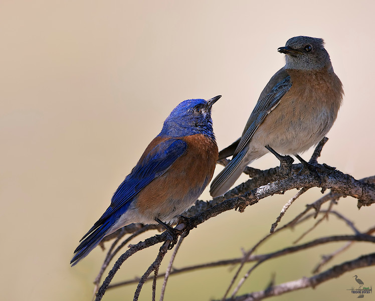 "Western Blue Bird / male & female, Colorado<br /> ""Sialia mexicana"""