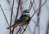 Yellow-rumped Warbler / female<br /> Dendroica coronata