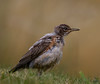 "Young and fuzzy<br /> American Robin, Colorado<br /> ""Turdus migratorius"""