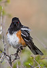 Angry Bird...<br /> Spotted Towhee / Pipilo maculatus / male