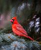 Northern Cardinal / male