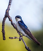 Tree Swallow/Tachycienta bicolor