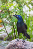 Common Grackle / Quiscalus quiscula