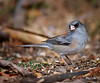 "Dark-eyed Junco ""red-backed"", New Mexico<br /> ""Junco hyemalis"""